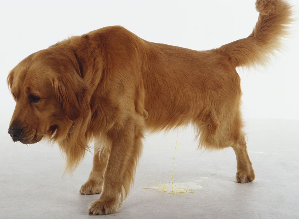 A Golden Retriever with long soft fur urinates into a puddle on the floor.