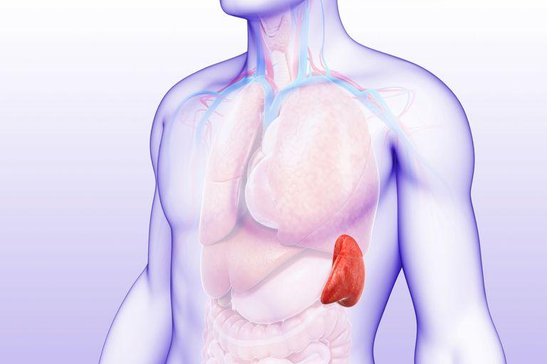 Spleen - Male