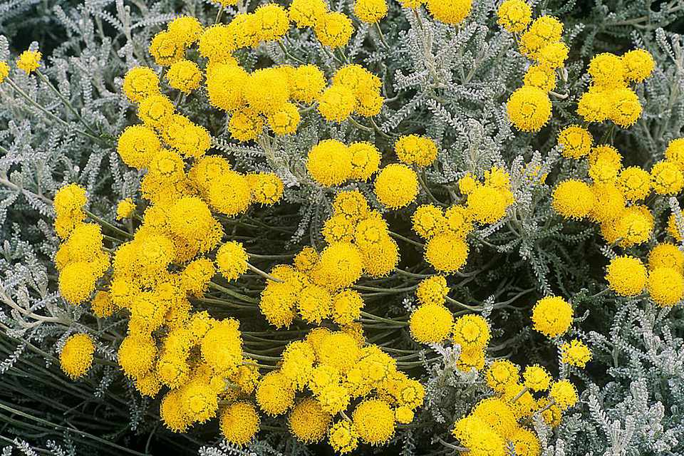 santolina chamaecyparissus (cotton lavender) july santolina