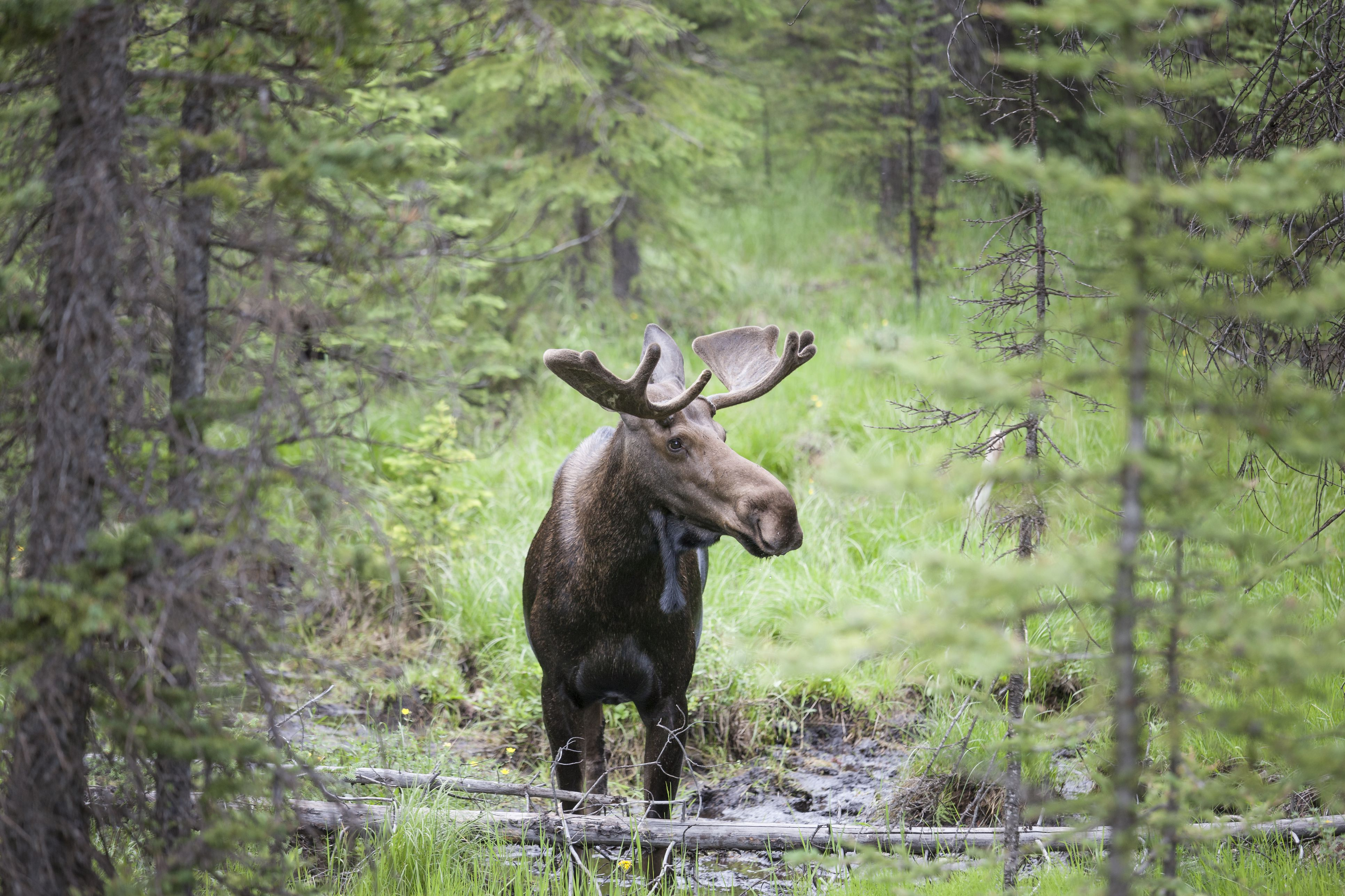 Moose Safety for Hikers