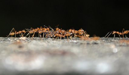 Dealing With Ants In Your Home