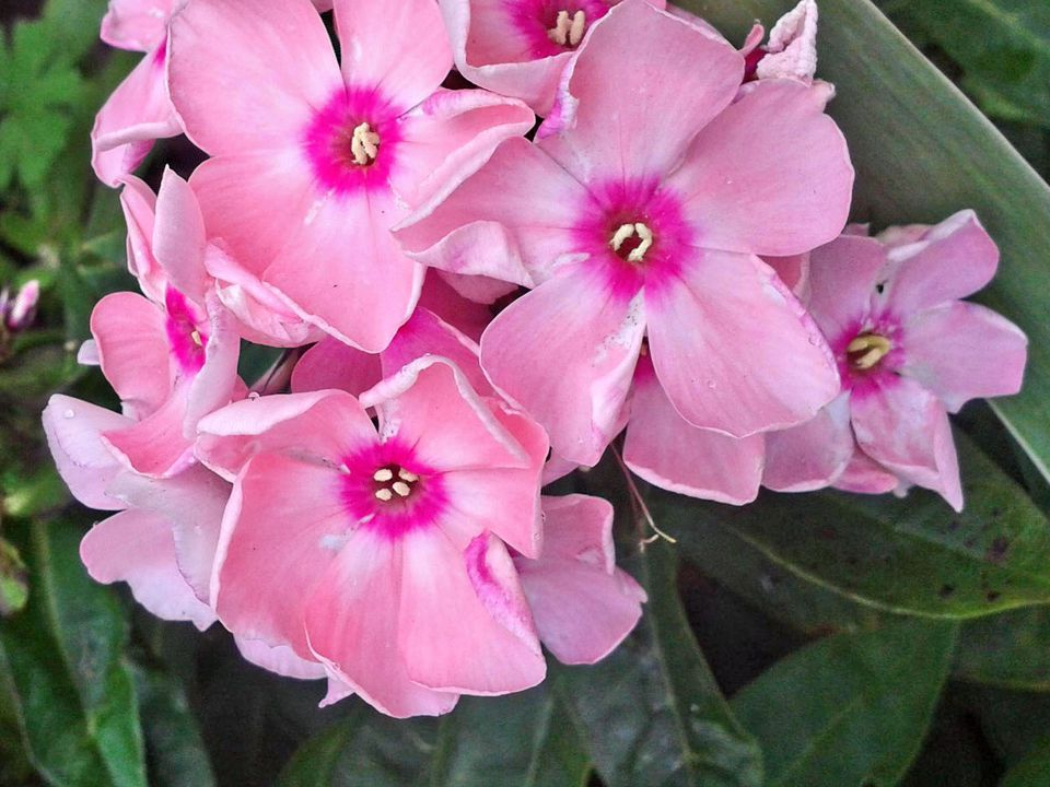 New Guinea Impatien Flowers