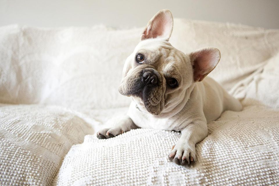 Image result for dog french bulldog