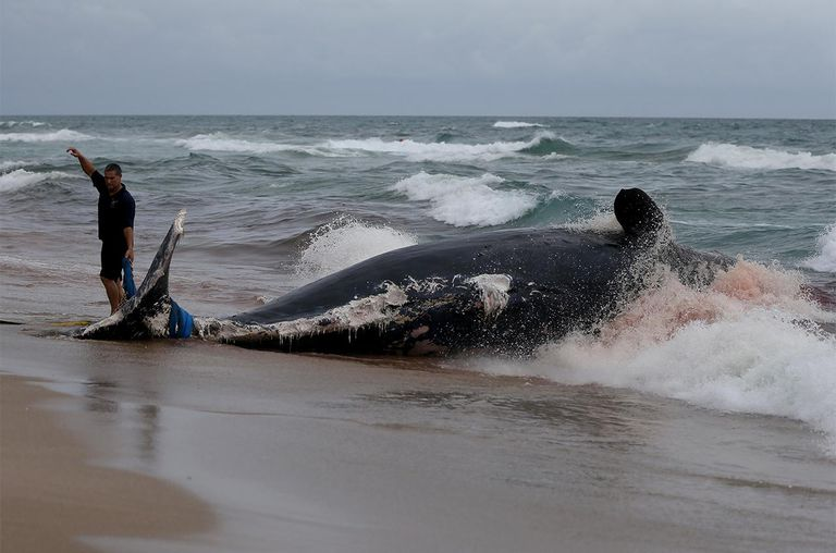 Tim Fry from the Boca Raton Ocean Rescue Team helps in the attempt to pull a dead sperm whale that appeared to have been dead for a while ashore