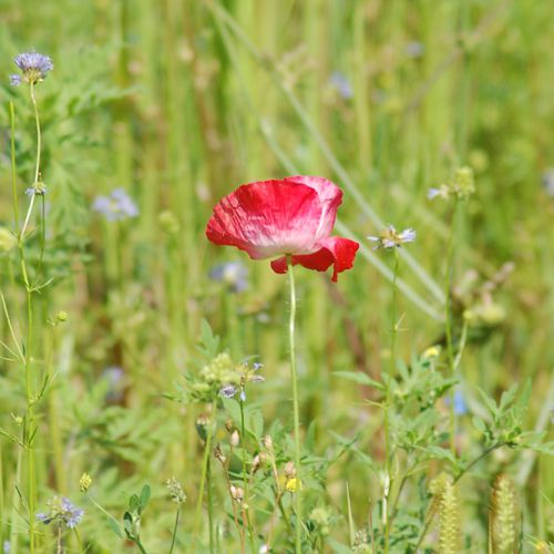 Picture of red poppy growing wild in a wildflower meadow.