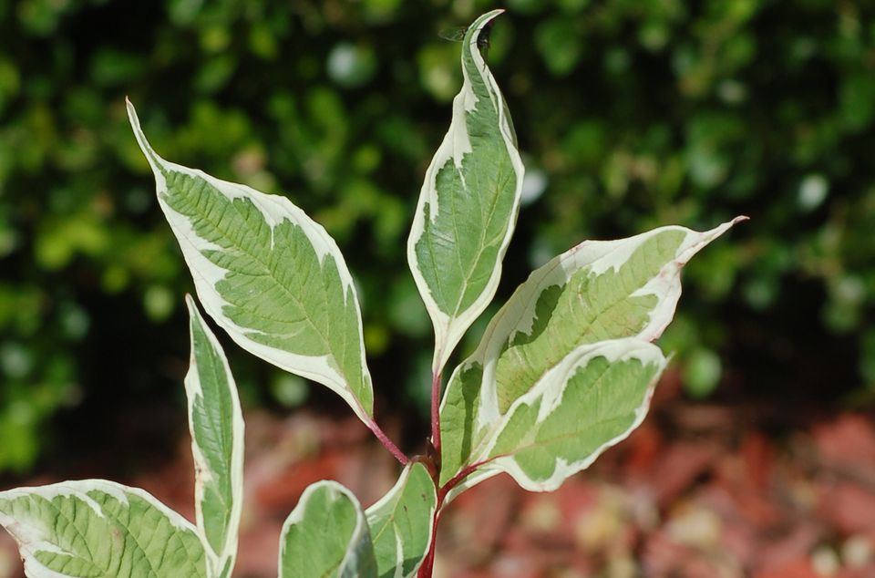 biochemistry - Why do most plants reflect green and others