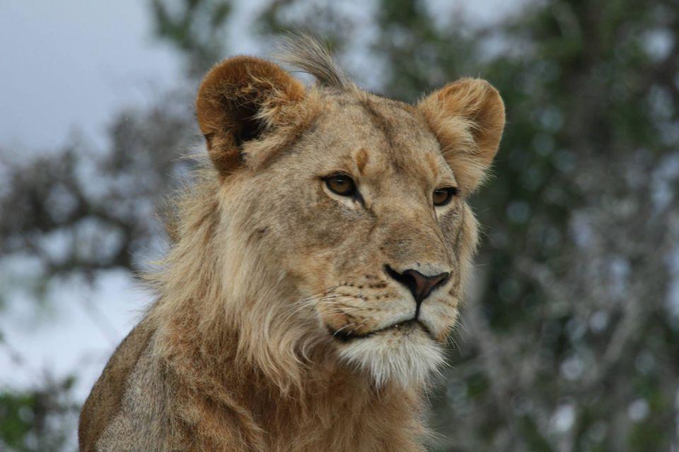 lion.southafrica.jpg