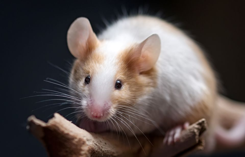 Mouse looking forward