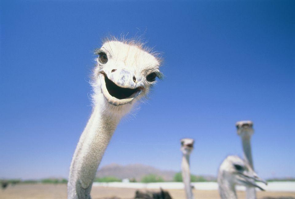 Ostrichs on farm