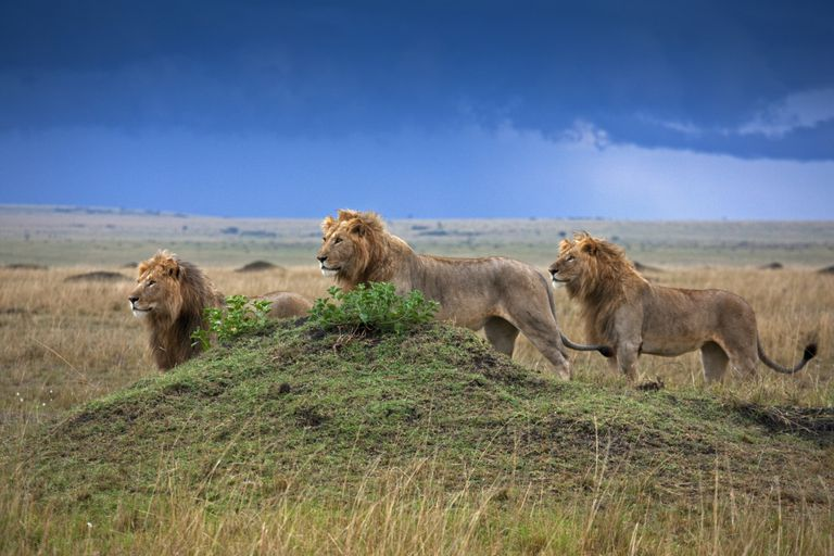Savanna Lions