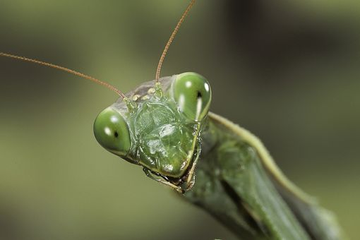 Praying mantis close-up.