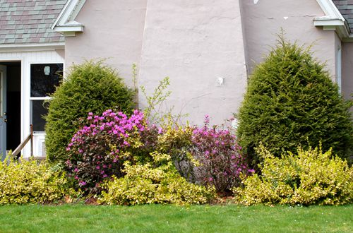 Photo of evergreen shrubs flanking chimney in foundation planting bed.