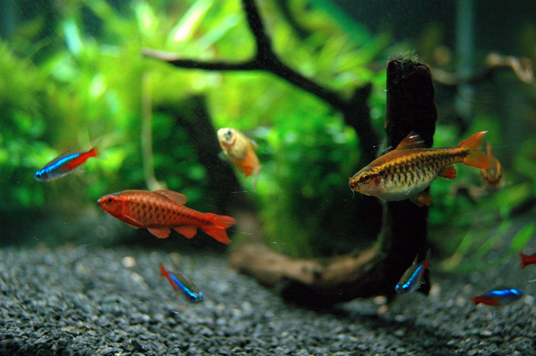 aquarium fish in outdoor fountains and ponds