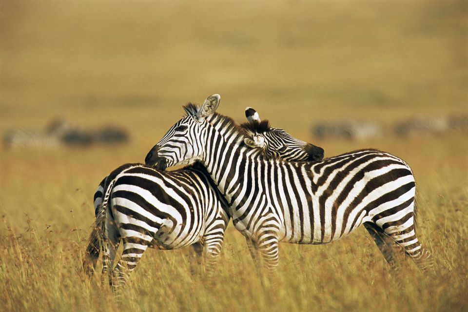 Common zebras grooming each other
