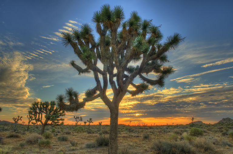 Joshua Tree at Sunrise