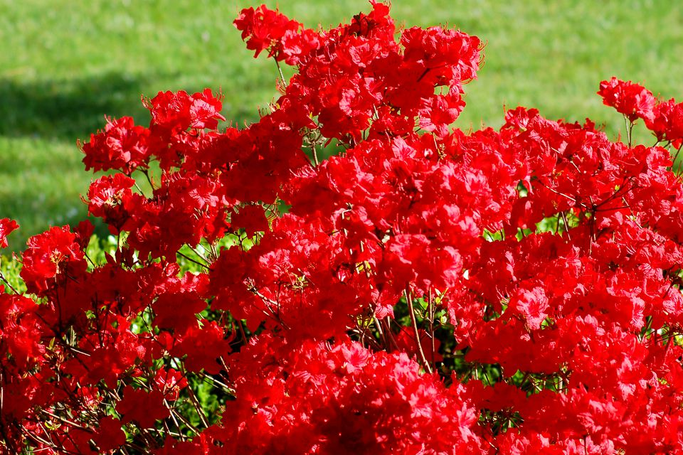 Photo: Stewartstonian azalea has red flowers. They are numerous.