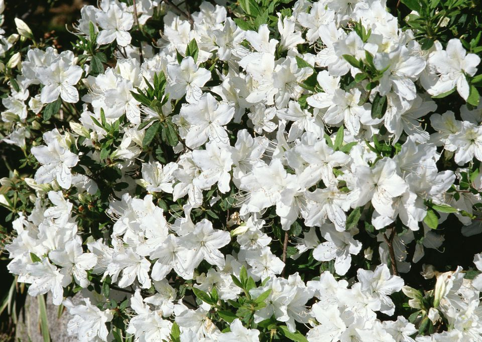 Azalea in bloom with white flowers.
