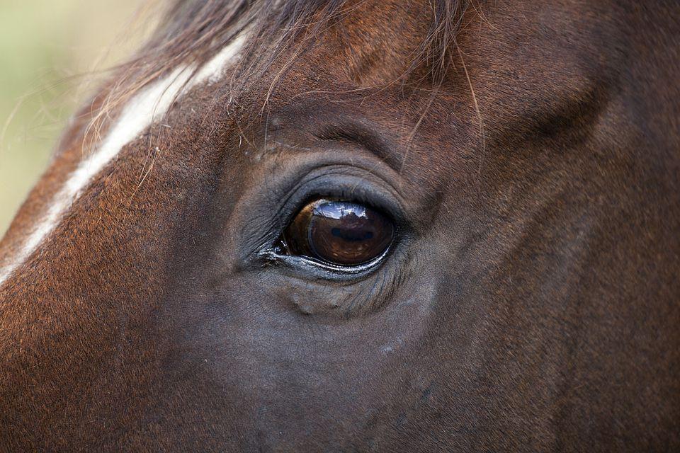 Close up of horse eye.