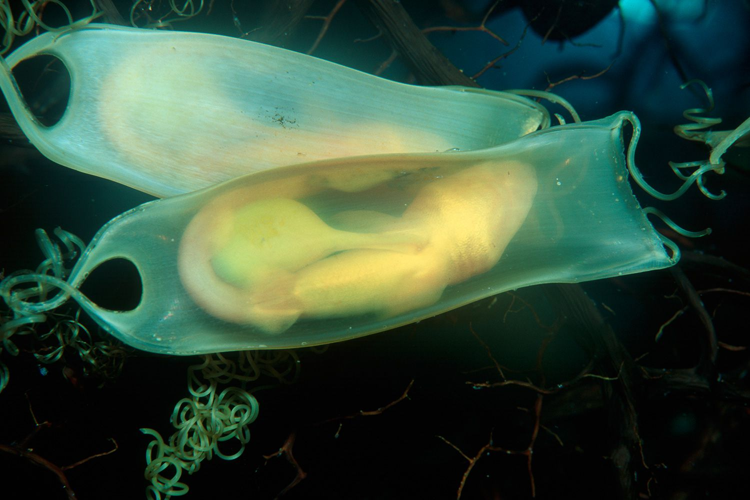 Learn Which Sharks Lay Eggs