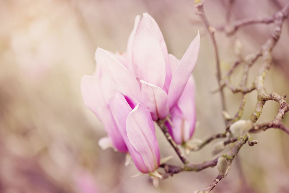 Magnolia tree blooming in spring with light pink flowers.