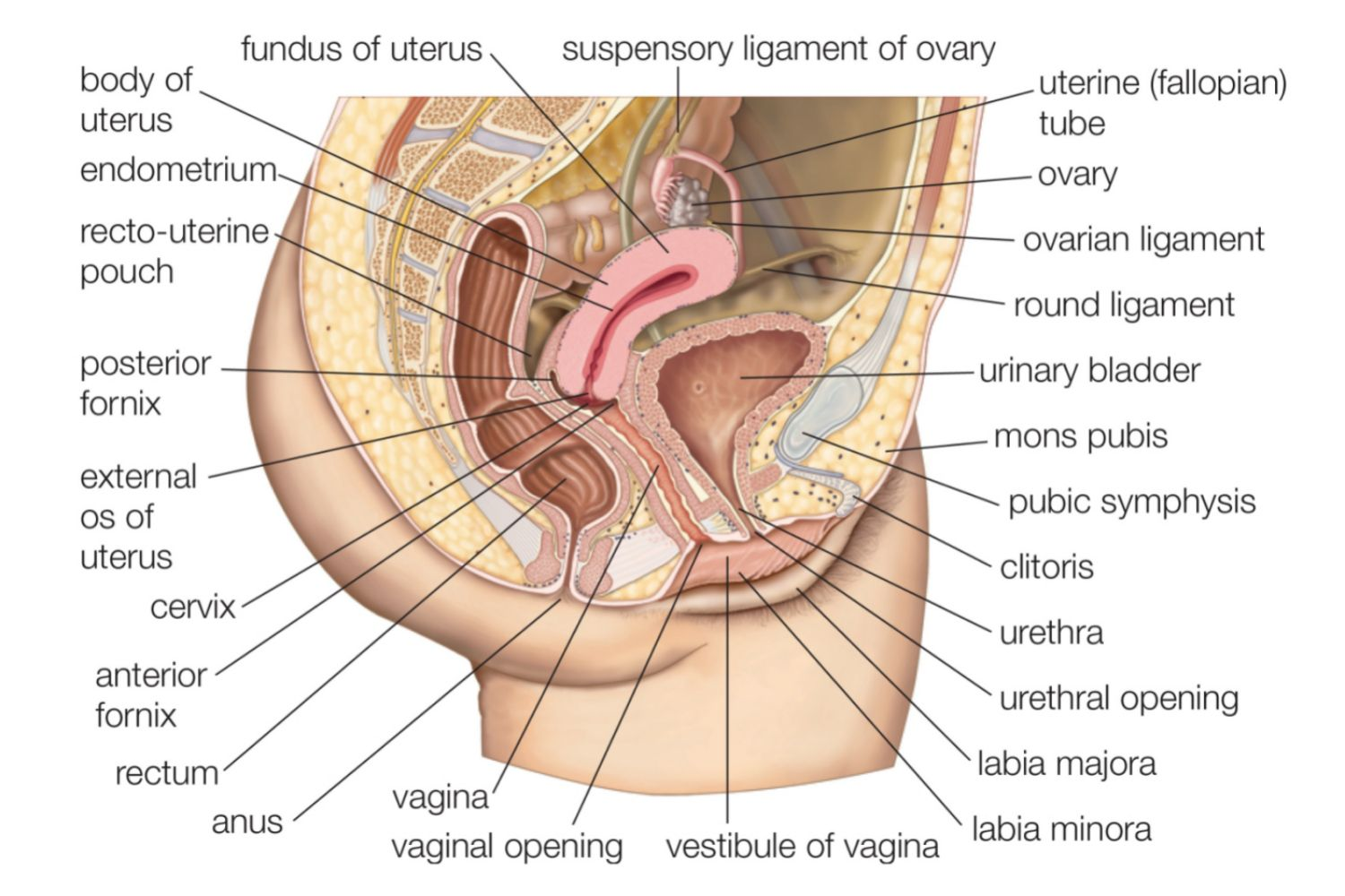 Male And Female Reproductive System Organs-6032