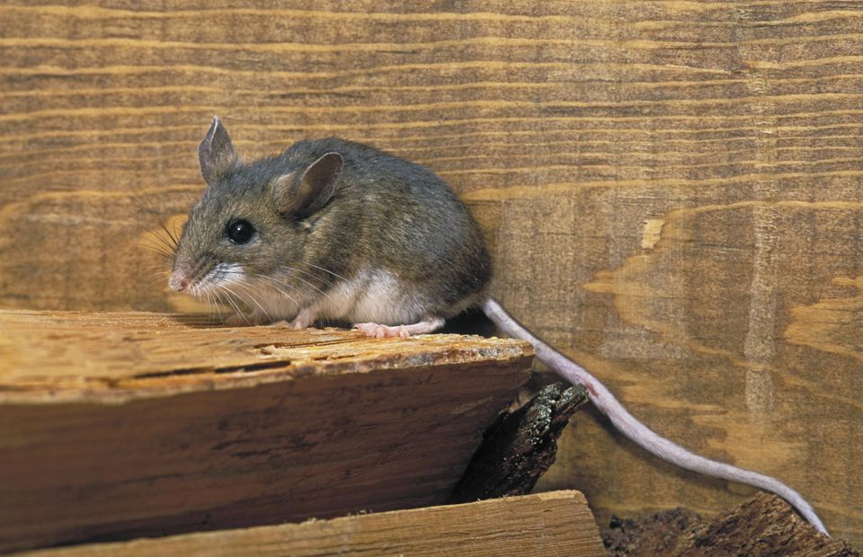 Deer Mouse - tail may reach 5 inches. Coastal British Columbia, Canada. Peromyscus maniculatus.