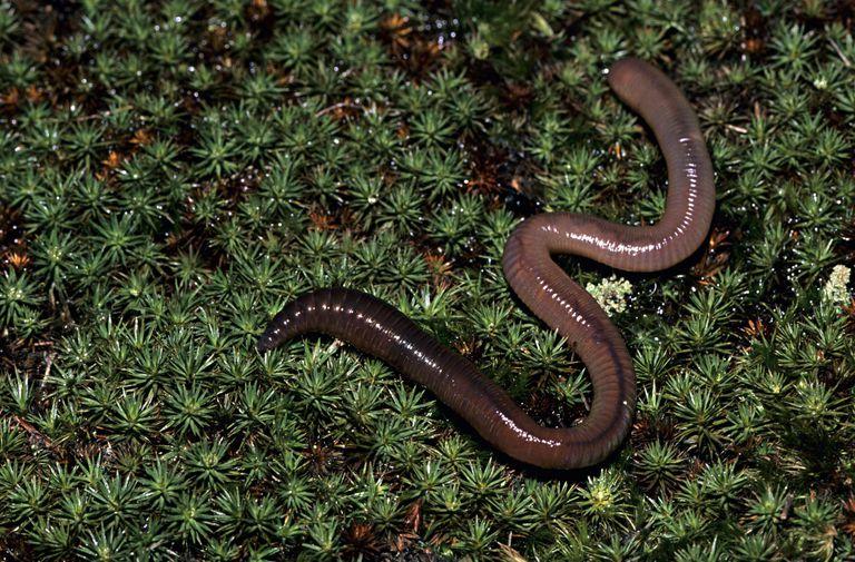 A segmented earthworm undergoes autogamy.