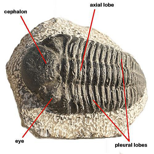 Trilobites exist as fossils only today, having gone extinct at the end of the Permian period.