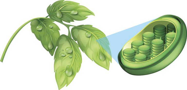 Chlorophyll in plant leaves converts carbon dioxide and water into glucose and oxygen.