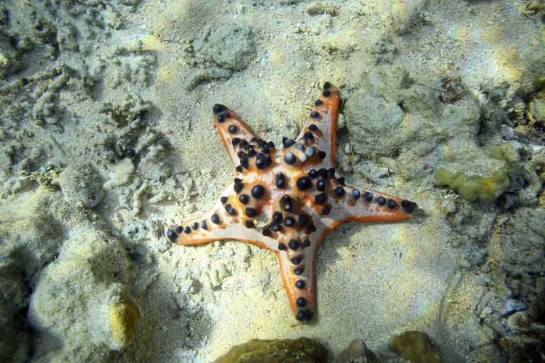 Chocolate chip sea star (Protoreaster nodosus)
