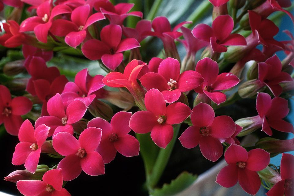 kalanchoe (flaming katy) close up of flowers april