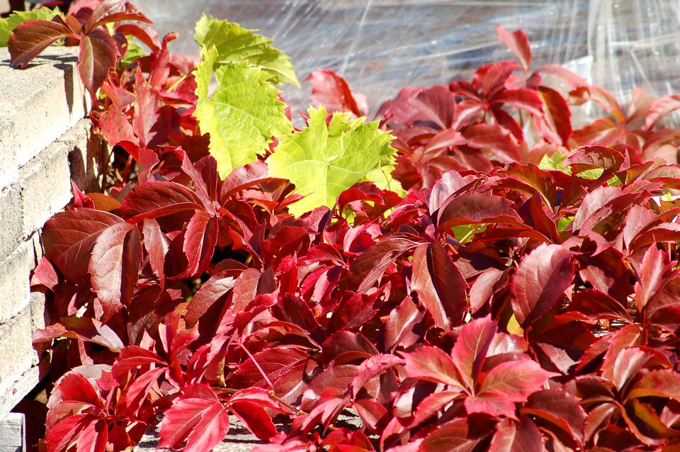 Virginia creeper (image) is at its best in fall. The red contrasts well with green leaves.