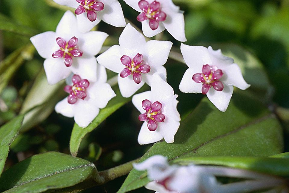 Hoya Plant Facts Growing And Care Guide