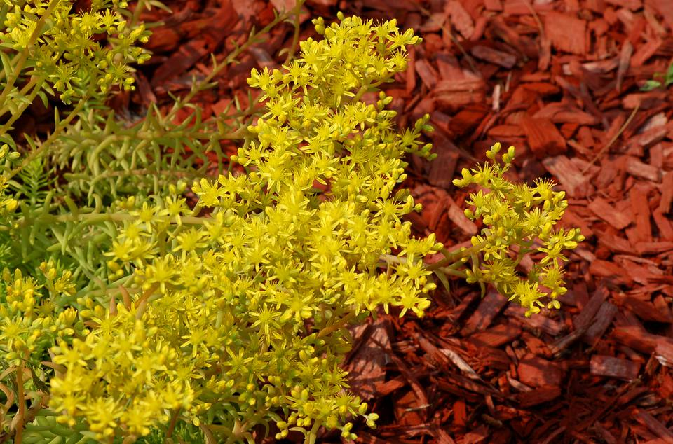 Image of Angelina sedum against a backdrop of red mulch.
