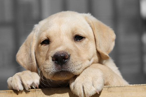 "Lab Puppy ""Nala"" by Jerry Frausto on Flickr"