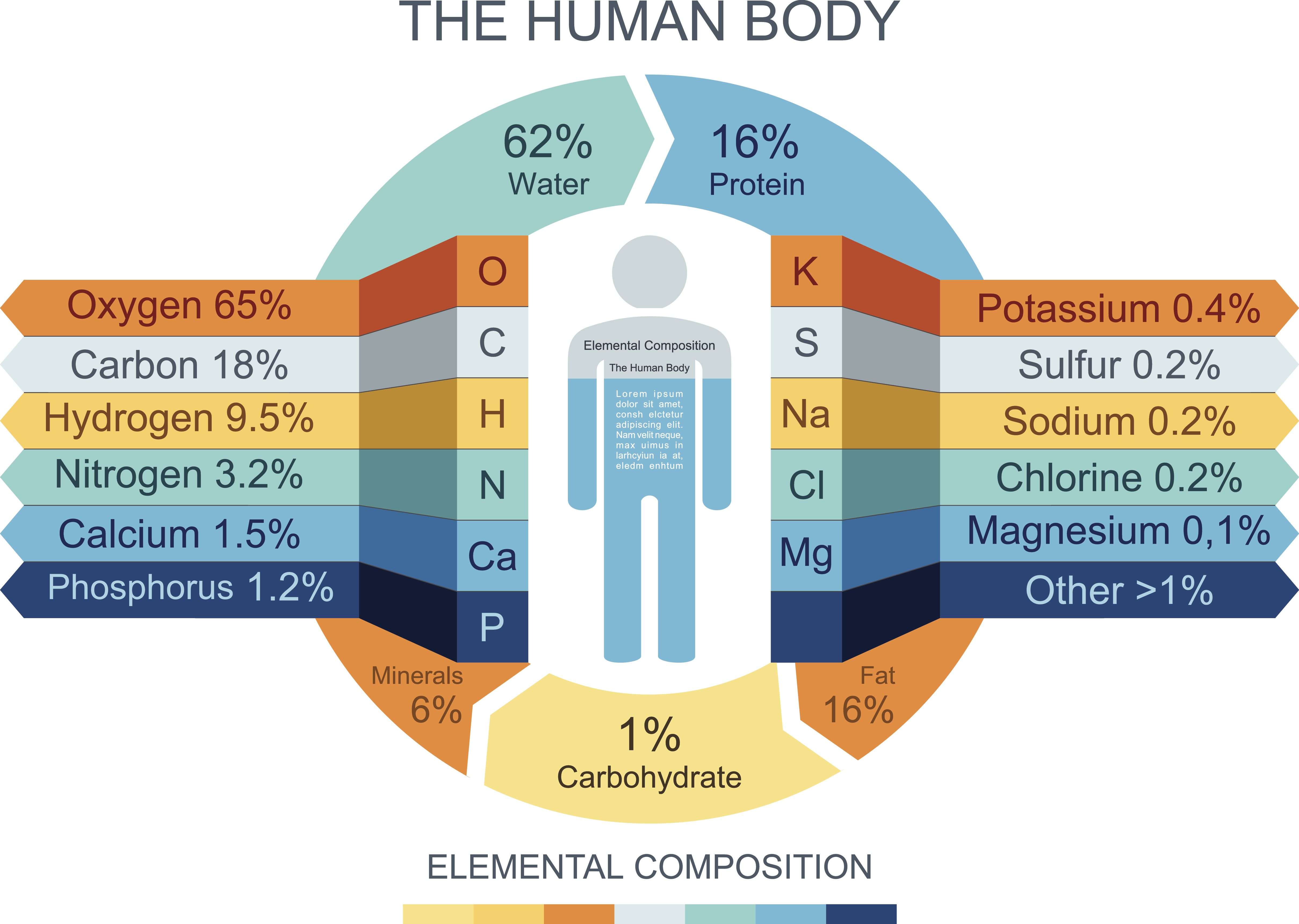 Chemical Composition Of The Human Body - How much is the human body worth infographic