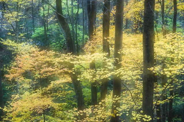 Glowing golden maple leaves in the Great Smoky Mountains