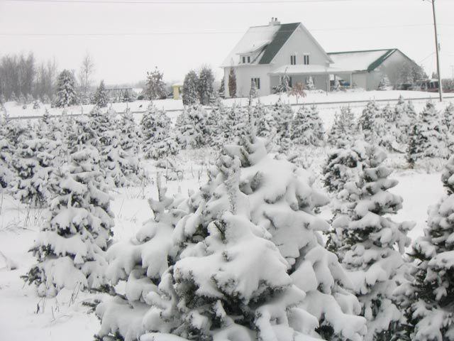 montreal christmas trees 2017 pick your own farm sapins de noel auto cueillette sapiniere plantation