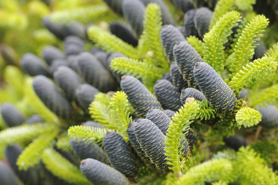 Blue-black female cones of Korean fir (Abies koreana), June