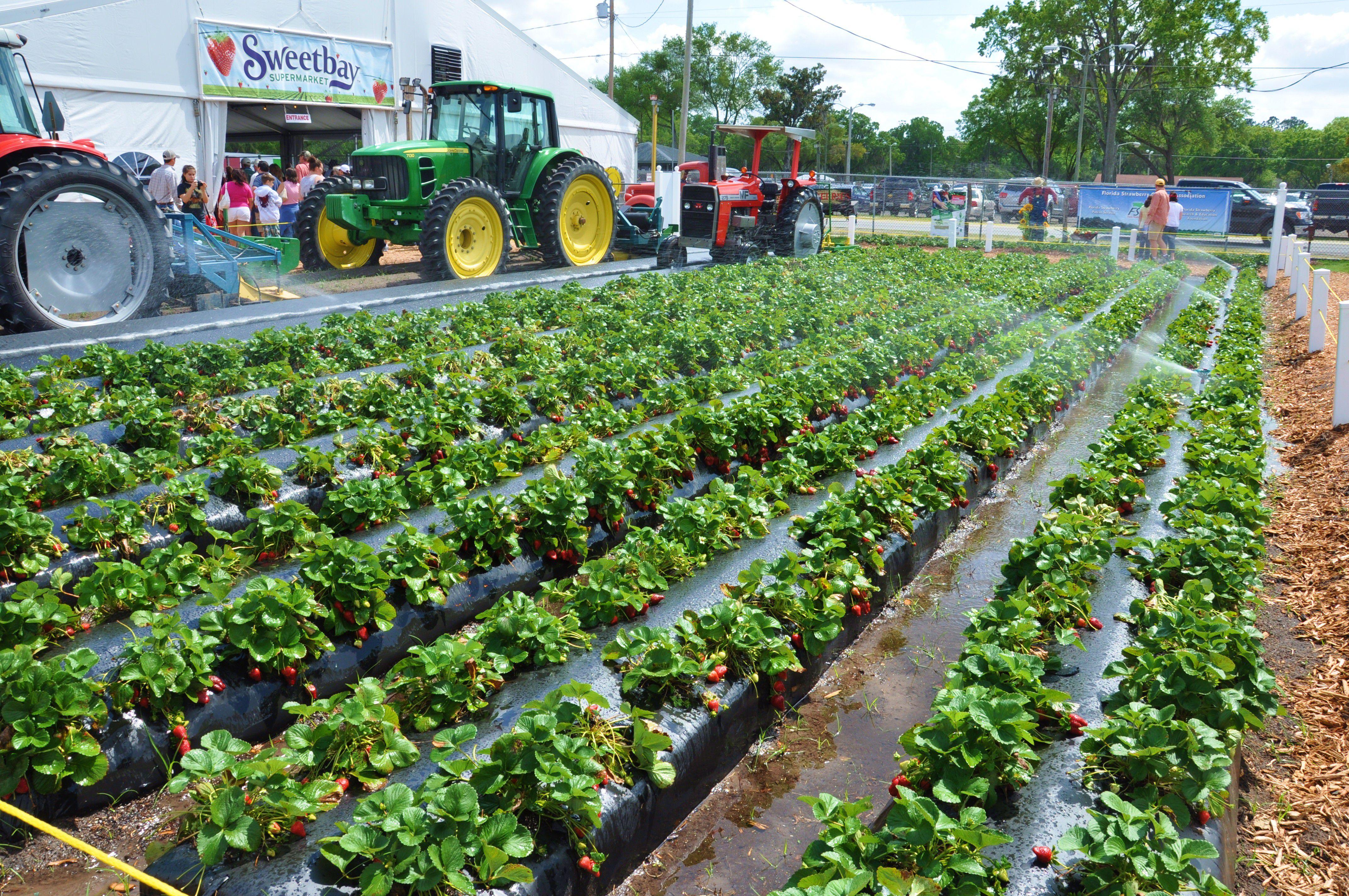 Plant City Florida Winter Strawberry Capital Of The World