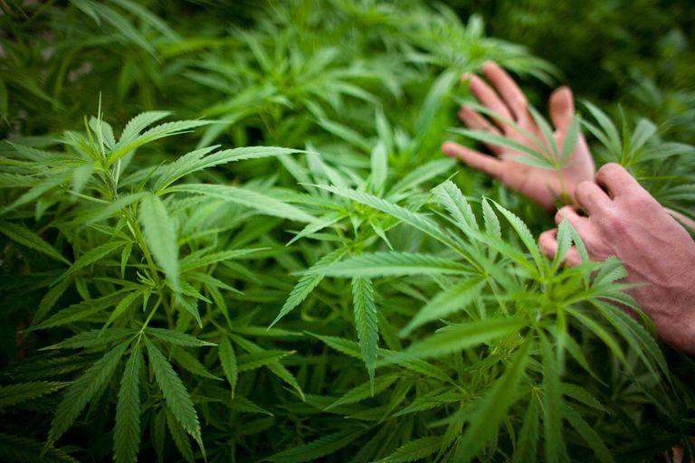 Israel Pioneers Use Of Medical Marijuana