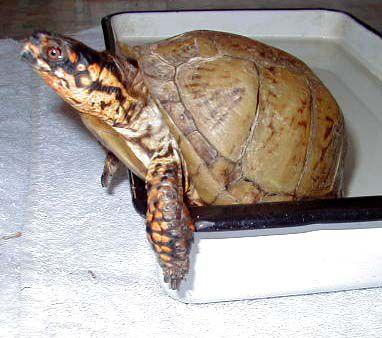 Edgar - Eastern Three-toed Box Turtle