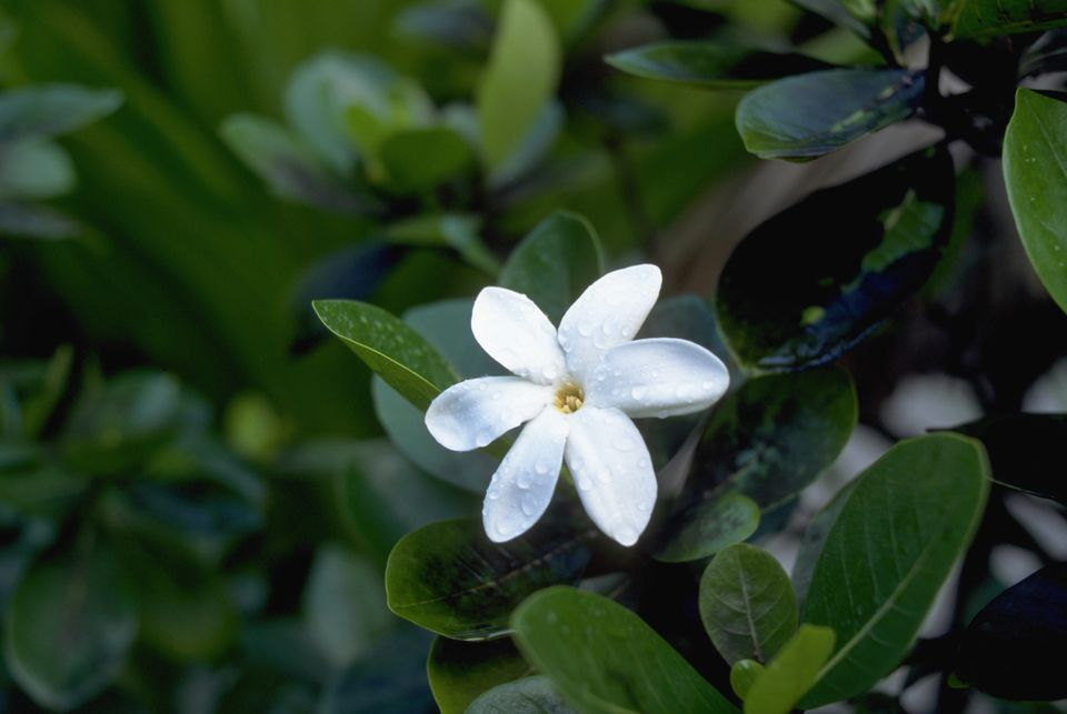 French polynesias colorful flowers overview tahitian gardenia mightylinksfo