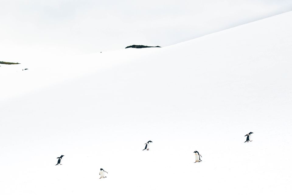 far away shot of 5 penguins in the snow