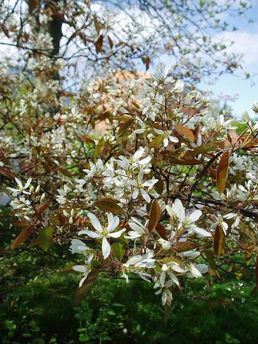 Picture of the juneberry