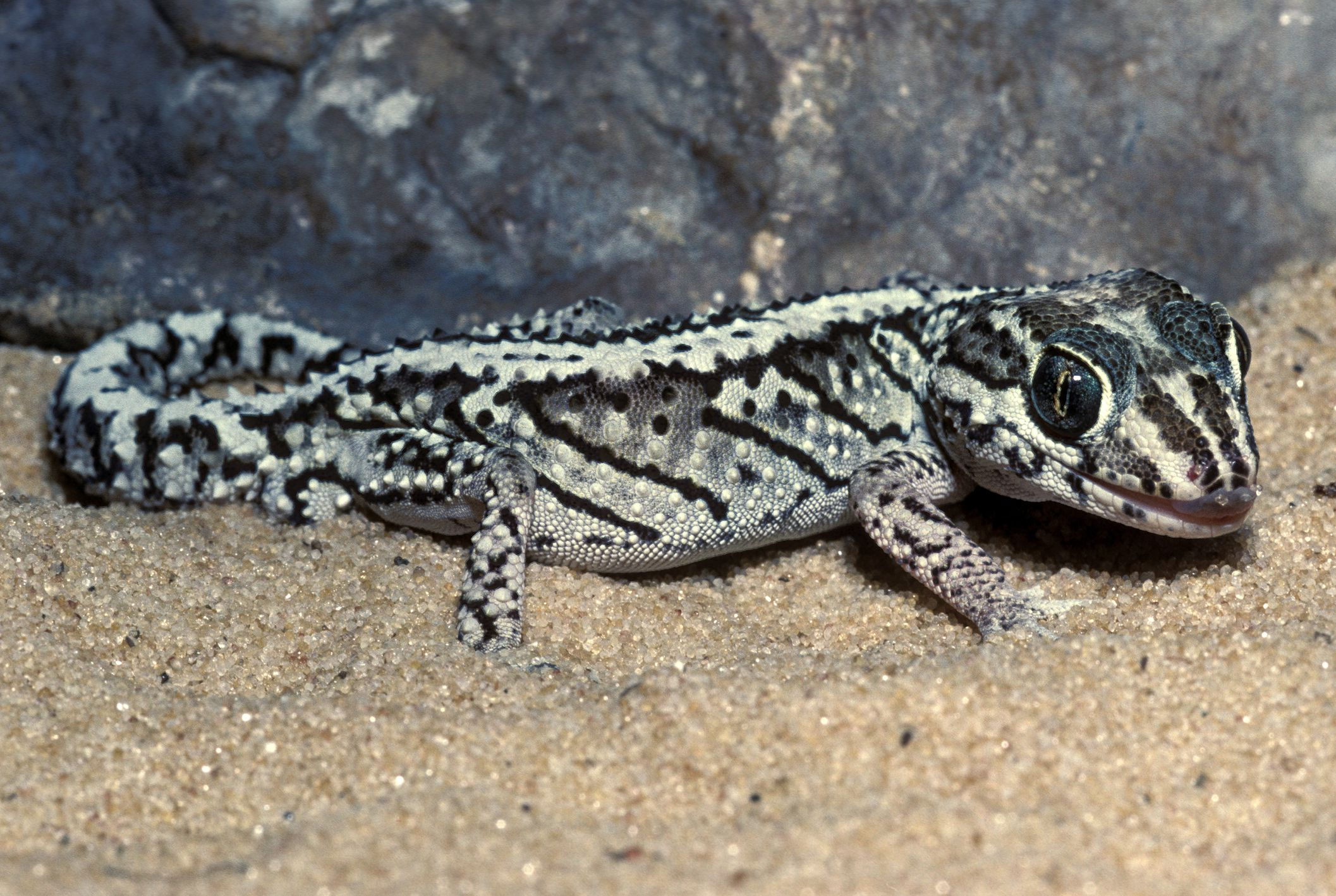 Basic care guide to pet panther geckos