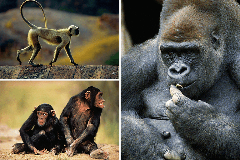 Collage of Primate Photos