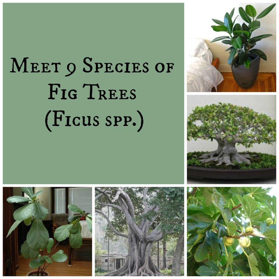 Meet 9 Species of Fig Trees