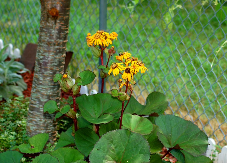 12 great perennials for shade and how to grow them leopard plant image is a shade perennial i grow mine under a cherry mightylinksfo Image collections