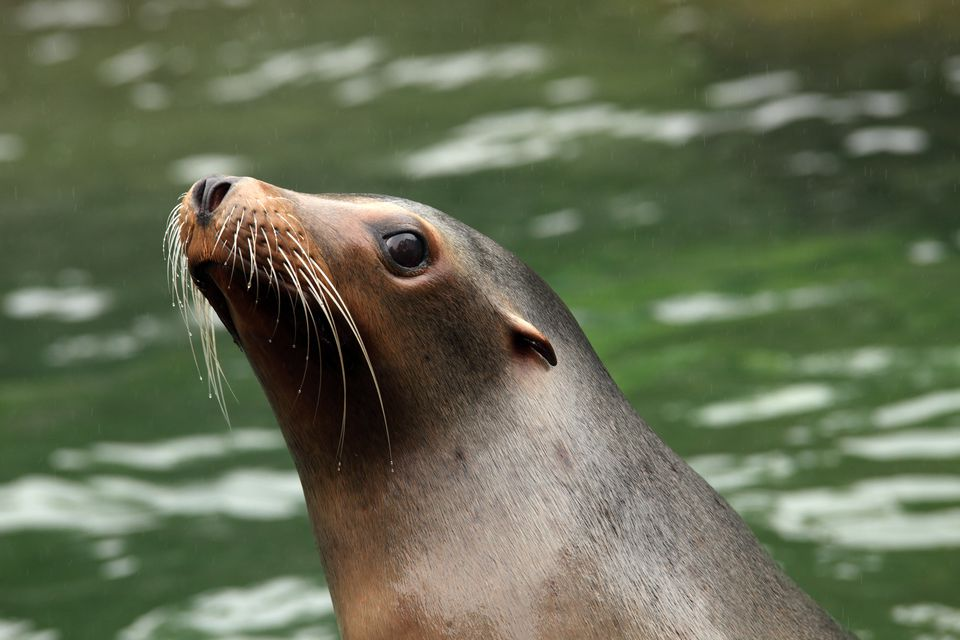 Sea lion waits for feeding time at the Prospect Park Zoo.